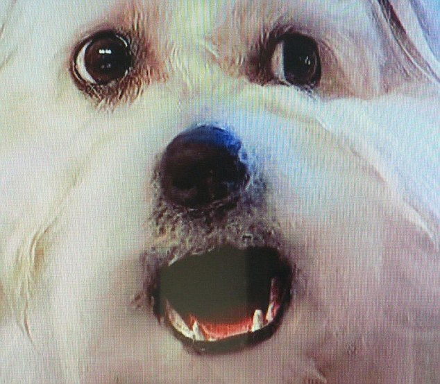 Convincing: Miss Wendy's mouth moved perfectly in time with the music but it is believed the dog had a fake jaw