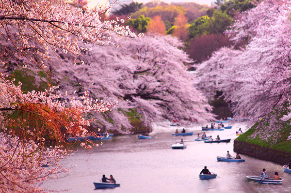 cherryblossoms-boats
