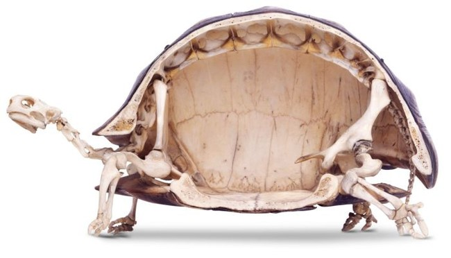This Is What A Turtle Looks Like On The Inside. It's Not What You Think