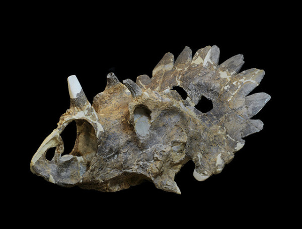 Seven bony spines in triangular and pentagonal shapes formed a halo around the edge of its large shield-like frill. Nearly the entire skull, but rest of the skeleton was not found. Image: Via Royal Tyrrell Museum