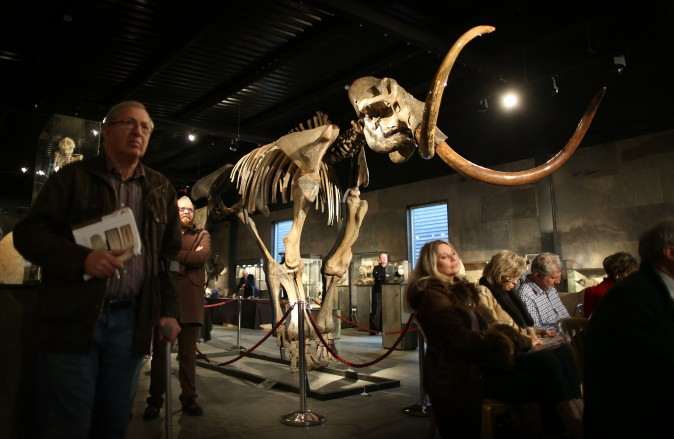 A woolly mammoth skeleton is displayed at Summers Place Auctions on November 26, 2014 in Billingshurst, England. (Peter Macdiarmid/Getty Images)
