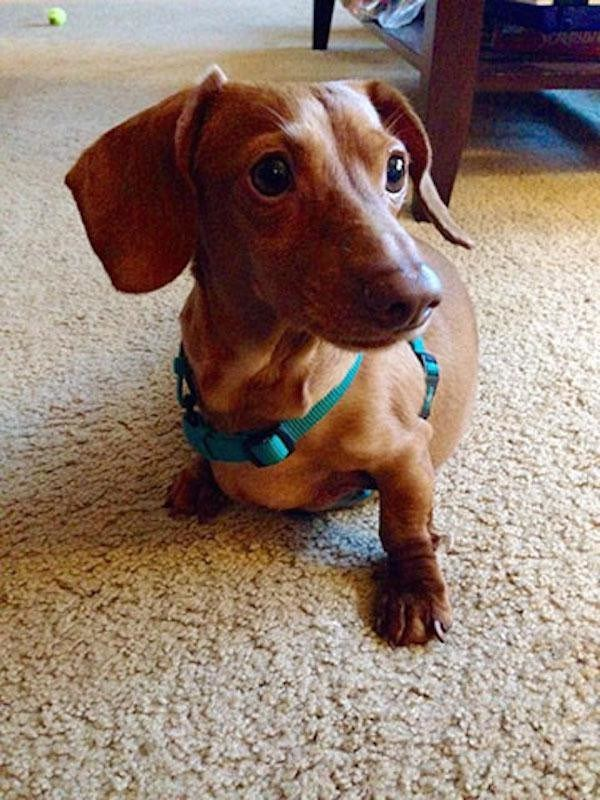 From 56 to 12 Pounds–Look at this Obese Miniature Dachshund's Journey to Weight Loss!