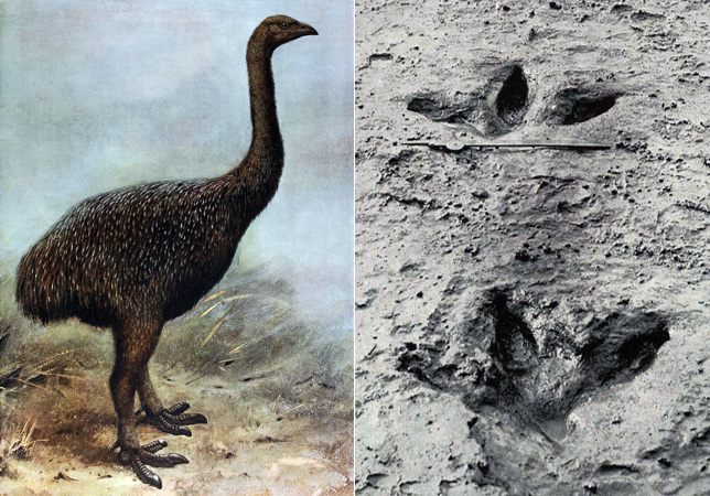 Left: Artist's impression of an Upland Moa, depicting the large feet with razor-sharp claws. (Wikimedia Commons) Right: Preserved footprints of a Moa found in 1911. (Wikimedia Commons)