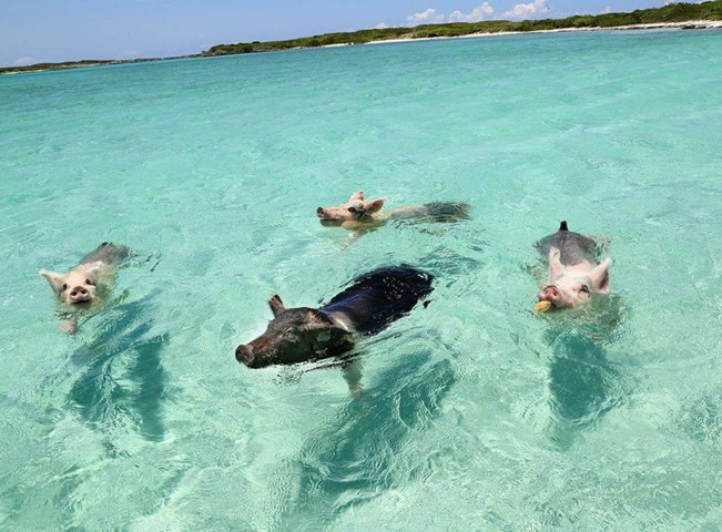 (Ảnh: When Pigs Swim, Facebook)