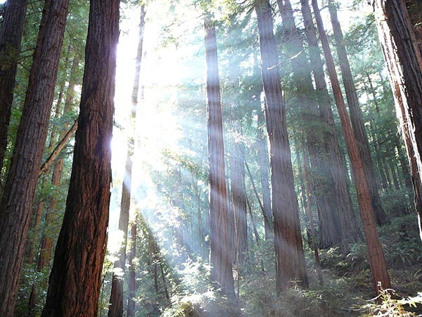 This is a beautiful picture of sunlight shining through sequoia trees in Muir Woods California. (Ảnh: Wikimedia)