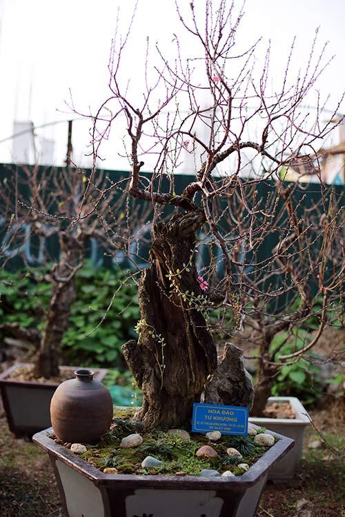 Đào lũa thực chất được tạo từ thân cây mục nát, phần thân còn lại rất ít. (Ảnh: khampha.vn)