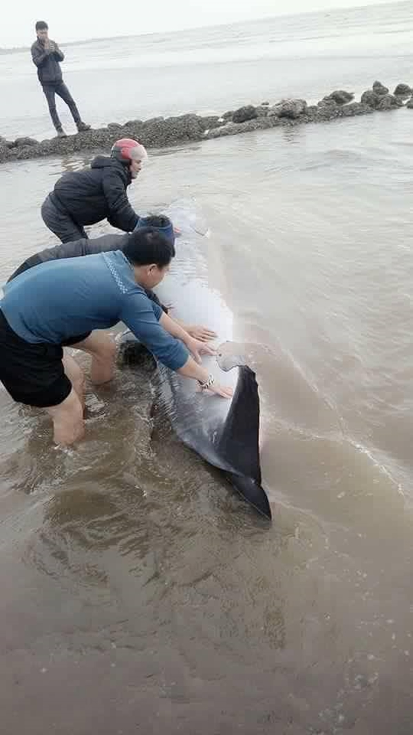 Nam Định: Giải cứu cá voi nặng 3 tấn trôi dạt vào bờ biển, cá voi dạt vào bờ biển