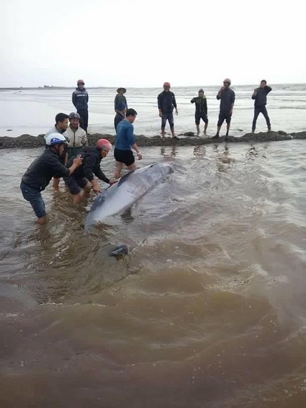 Nam Định: Giải cứu cá voi nặng 3 tấn trôi dạt vào bờ biển - Ảnh 3.