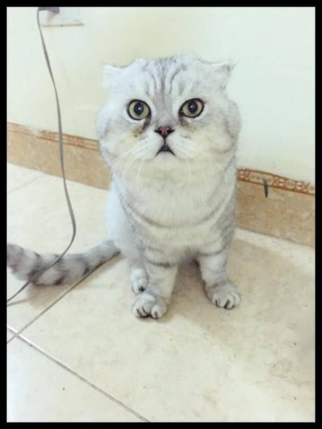Gặp Tôm - Chú mèo khổng lồ mặt siêu ngố đang khiến cư dân mạng Việt Nam thích thú - Ảnh 2.