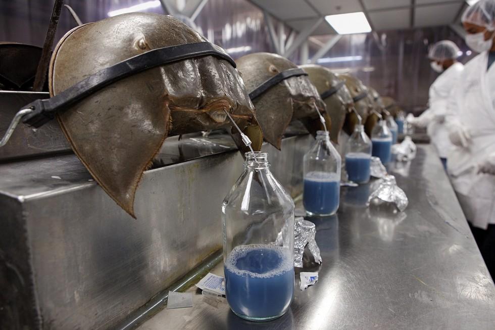 Vắc-xin và bí mật về dòng máu xanh kỳ lạ của những con Sam biển