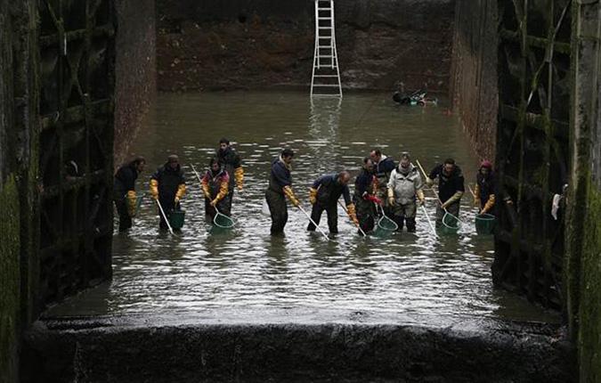 Người lao động đang cố gắng bắt một lượng cá lên đến 4,5 tấn trong đó là cá hồi sông, cá chép và cá tráp và các loại cá khác. (Ảnh: Online International)