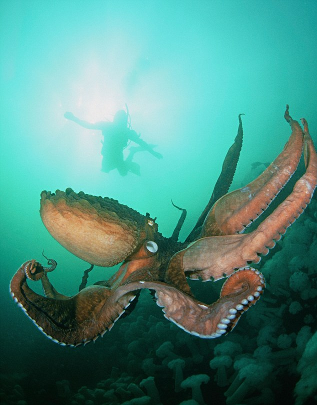 AWF1GW A giant Pacific octopus, Octopus dolfleini, and a diver in the water column off Keystone Jetty, Whidbey Island, Washington.