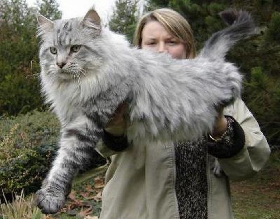 meo-maine-coon-1