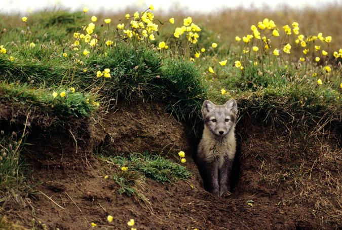 01-arctic-fox-den.ngsversion.1463761803735.adapt.1900.1