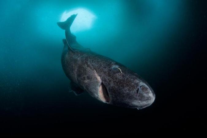 01greenland-sharks.ngsversion.1470942007094.adapt.885.1
