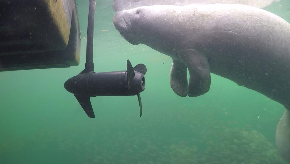 Lợn biển và những vết thương kinh khủng do tàu thuyền gây ra