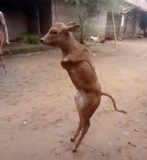 Chú bê kiên cường: mất hai chân trước nhưng vẫn đi thẳng bằng 2 chân sau như người