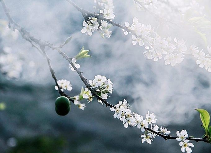 Rủ nhau đi ngắm hoa mơ, hoa mận bung nở trắng trời Mộc Châu