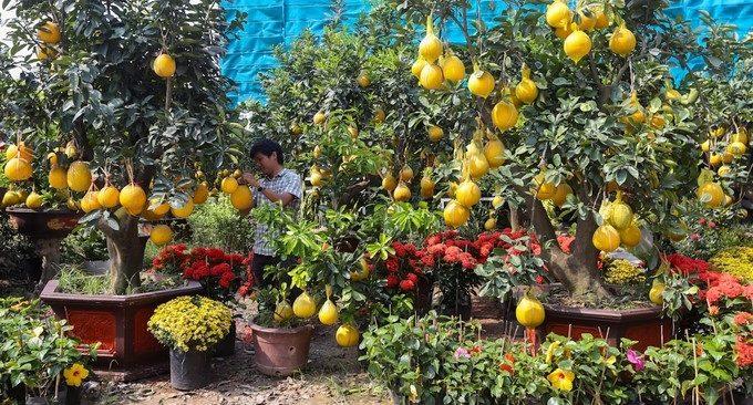 Bưởi Diễn chưng Tết 50 triệu đồng/cây gây 'sốt' ở Sài Thành