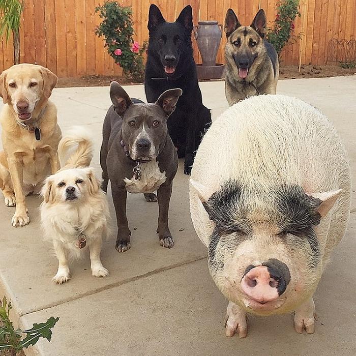 Chú lợn đáng yêu khi luôn nghĩ mình là.... chó