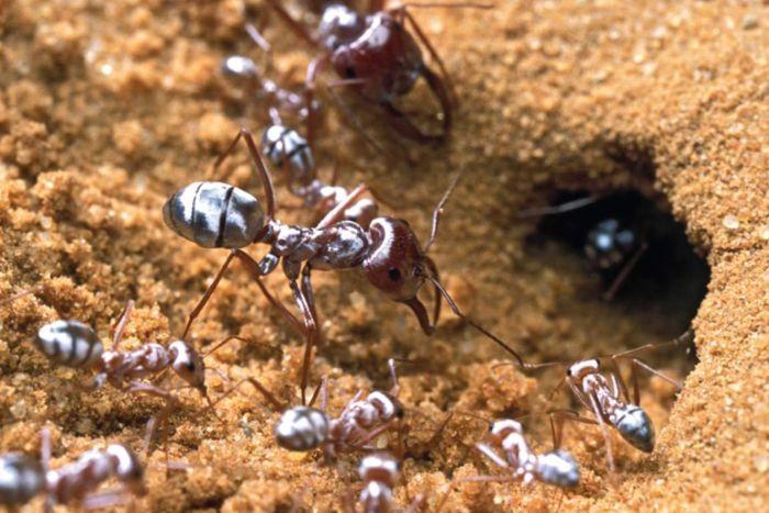 kiến sahara
