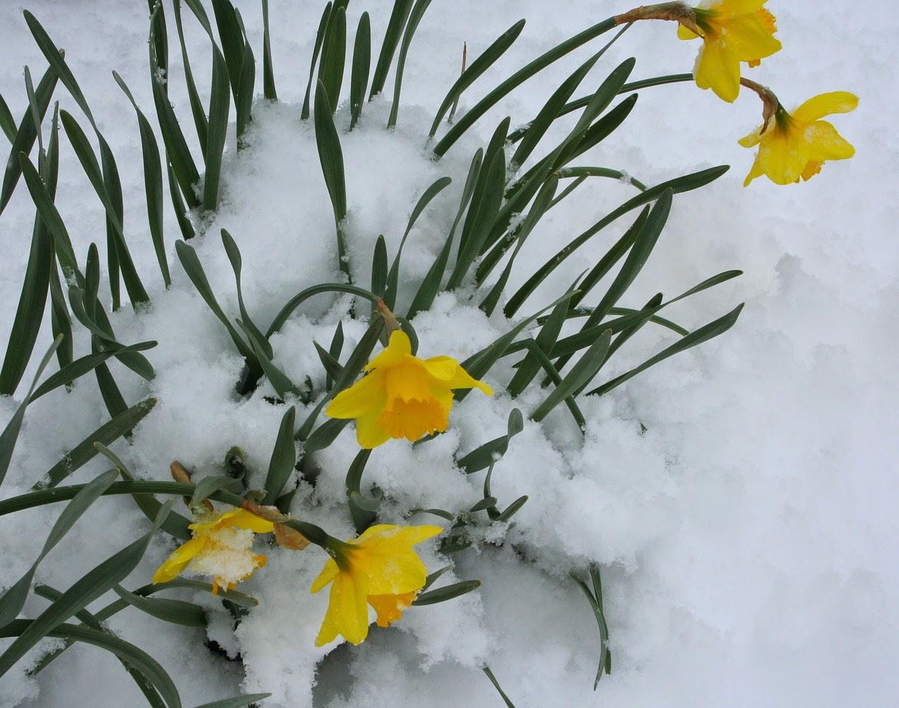 Thủy tiên là loài hoa nở trong giá lạnh nghênh đón nắng xuân như hoa mai, hoa đào. (Ảnh: pixabay.com)